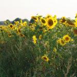 hof herberg sonnenblume